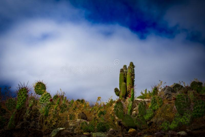 Cactus of Pucara de Tilcara, Argentina. royalty free stock images