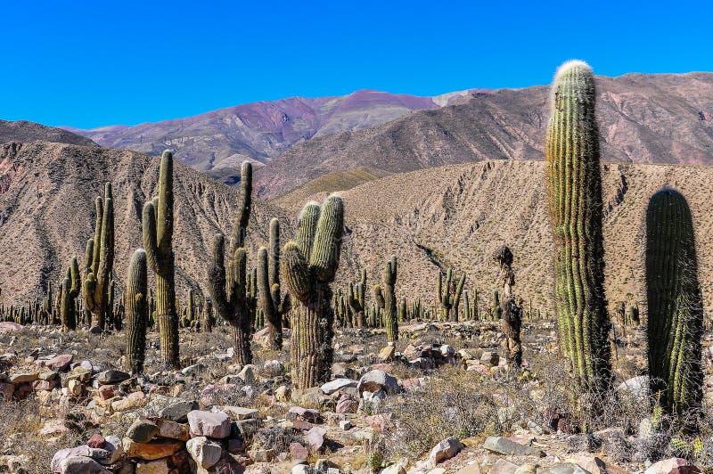 Cactus in Quebrada DE La Humahuaca, Argentinië stock afbeeldingen