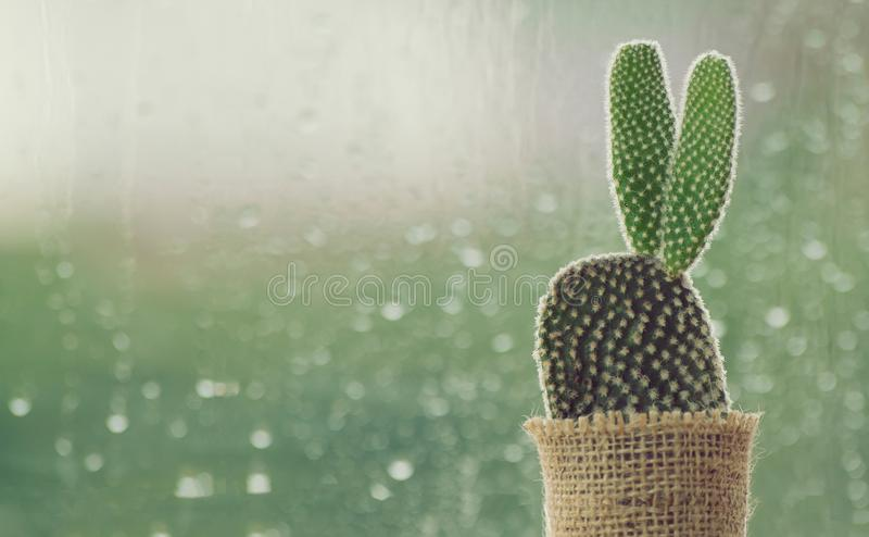 Cactus on a rainy day with water drop at window background. royalty free stock image