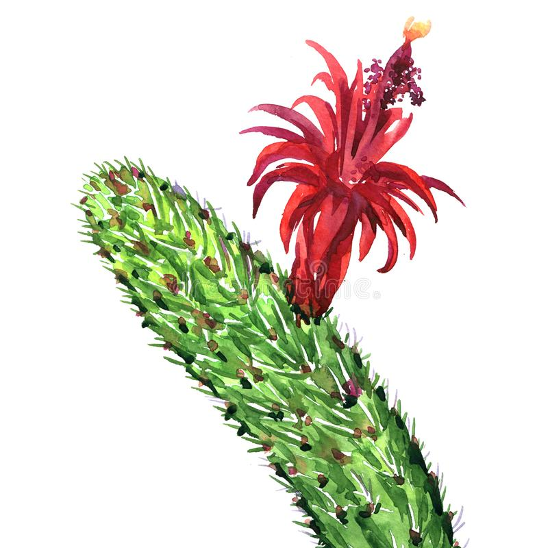 Cactus with red flower isolated, Echinopsis Lobivia spiky cactus, closeup, hand drawn watercolor illustration on white royalty free illustration