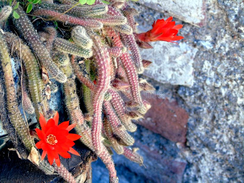 Cactus with red flowers royalty free stock photos