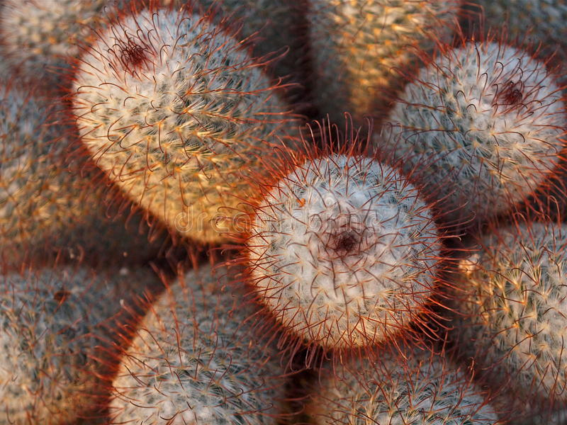 Download Cactus With Red Spikes Royalty Free Stock Photo - Image: 12234645