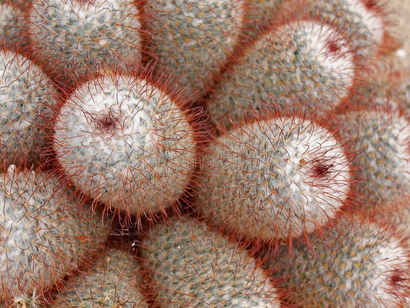 Download Cactus with red spikes stock photo. Image of white, detail - 13419746