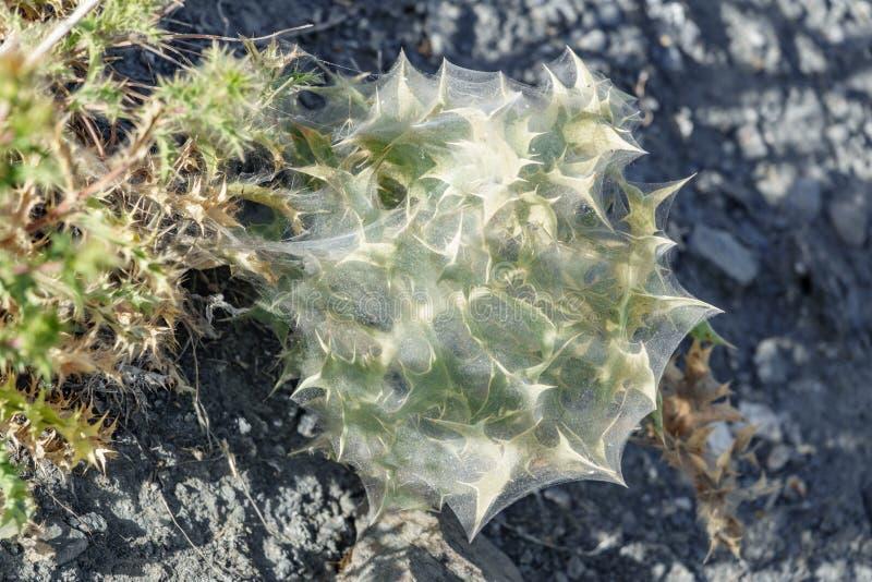 Cactus rodeado con el spiderweb foto de archivo