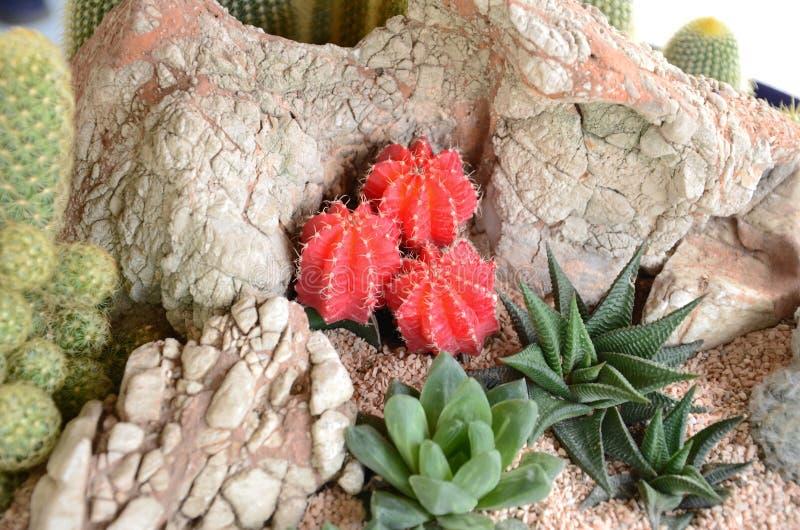 Cactus rojo en las rocas fotografía de archivo libre de regalías