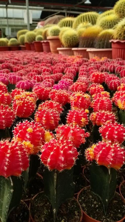 Cactus rouge de boule photographie stock libre de droits