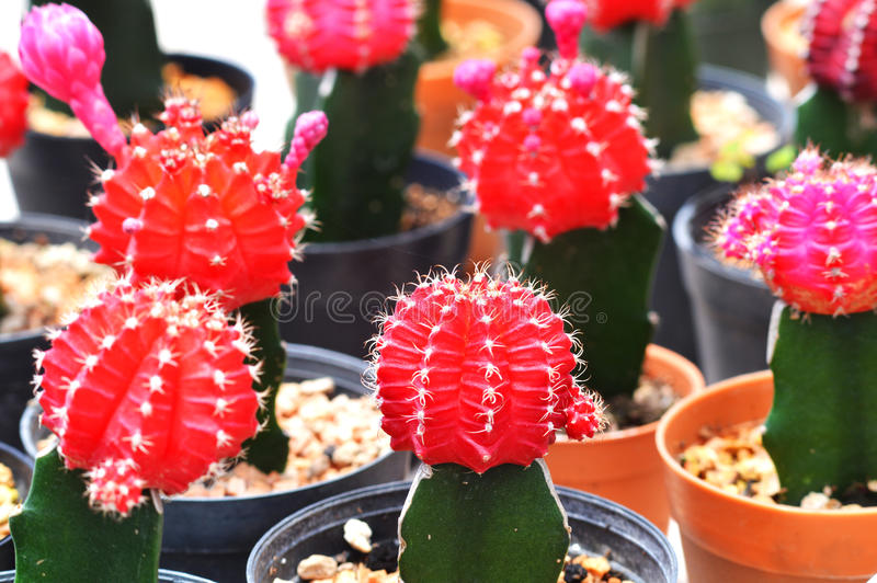 Cactus rouge de lune photo stock