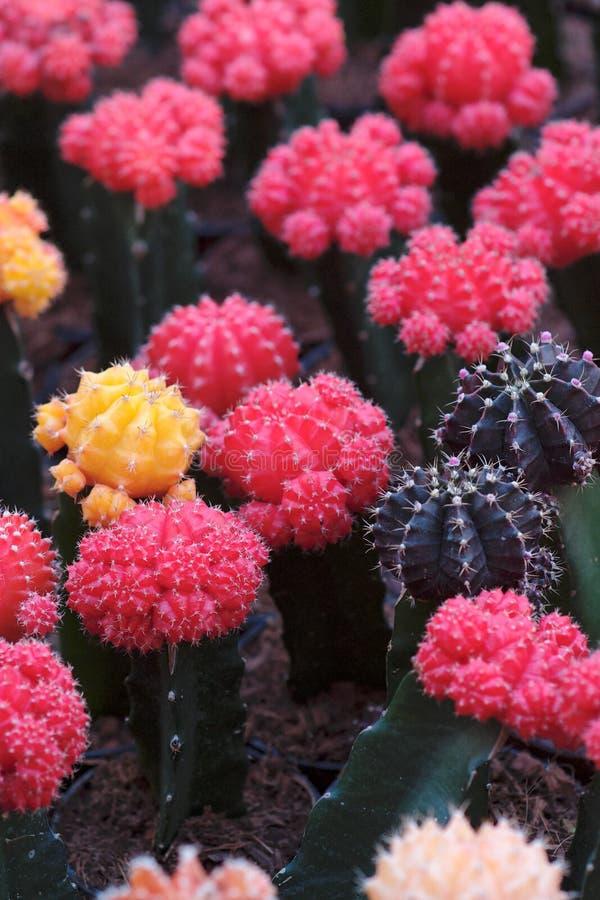 Cactus rouges et pourprés, DOF peu profond photo libre de droits