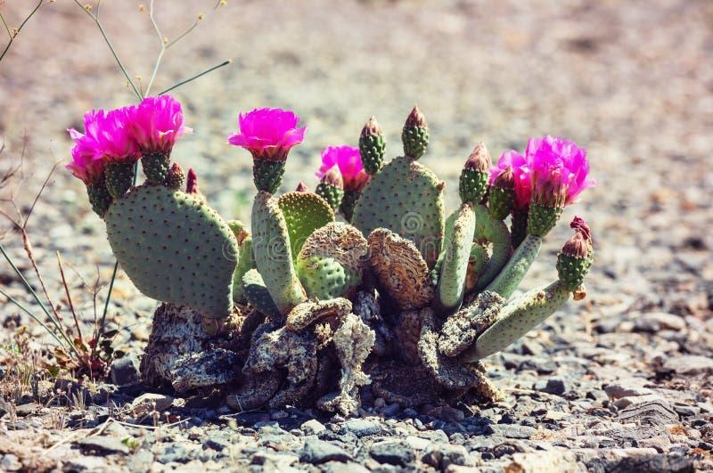Cactus. Saguaro National Park royalty free stock image