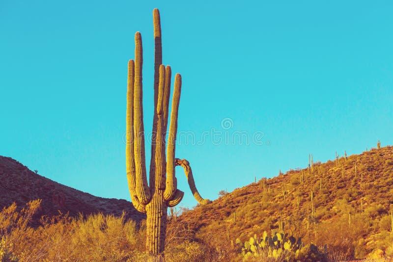 Cactus. Saguaro National Park stock photo