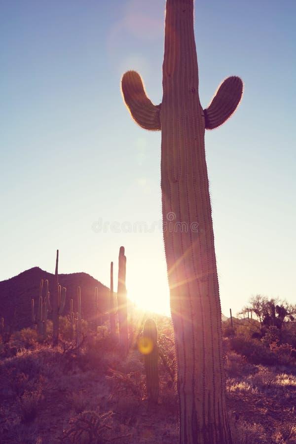 Cactus. Saguaro National Park royalty free stock photography