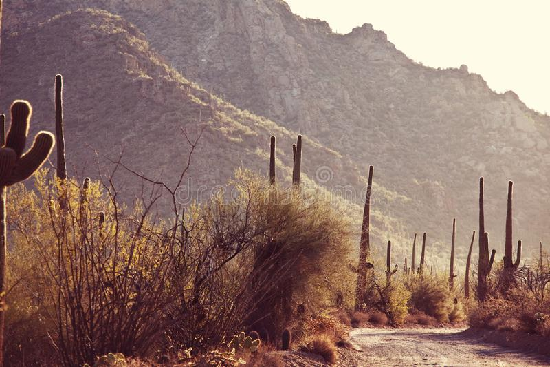 Cactus. Saguaro National Park stock photography