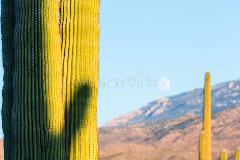 Cactus. Saguaro National Park royalty free stock images
