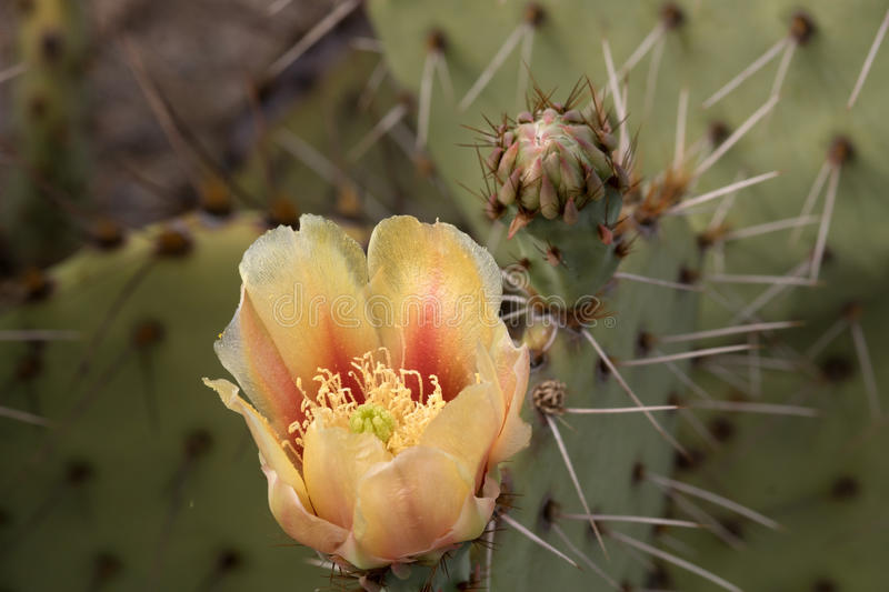 Cactus at Saguaro National Park, Arizona, USA. Cactus at Saguaro National Park, part of the United States National Park System and of the Sonora Desert royalty free stock photo