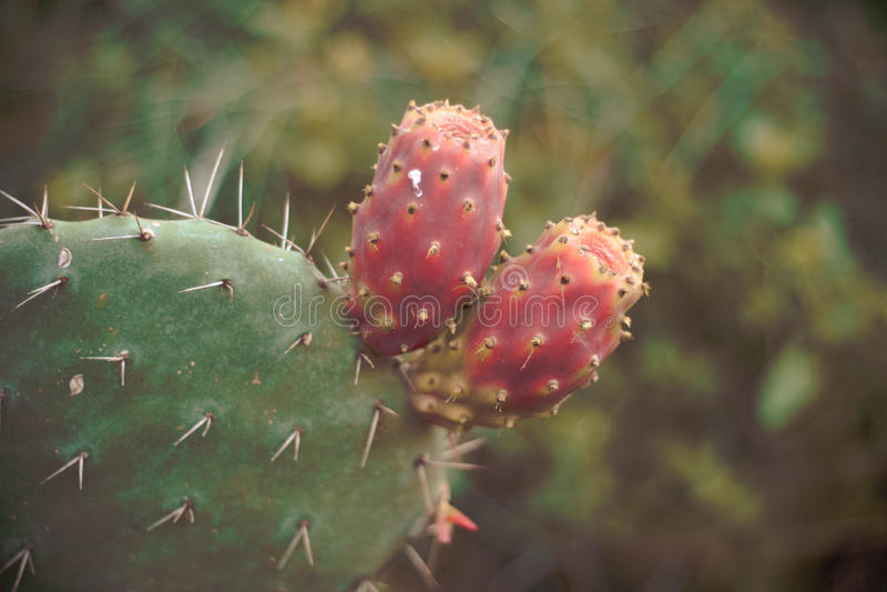 Cactus sauvage photographie stock