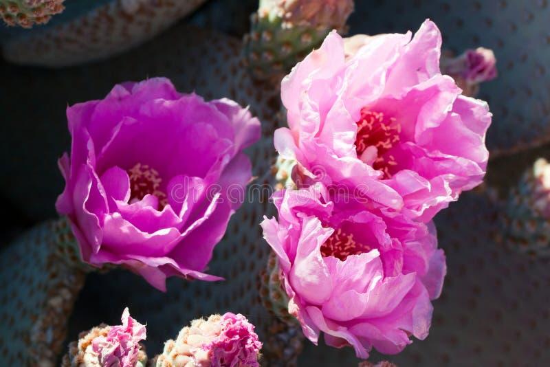 Cactus sauvage rouge de floraison de désert de Beavertail images libres de droits