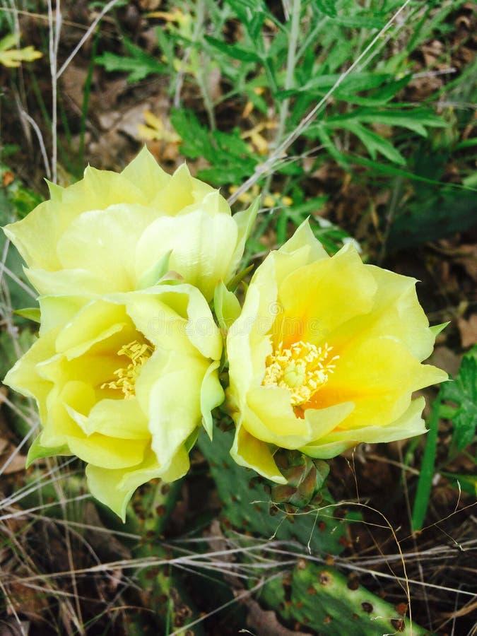 Cactus sauvages en fleur photos libres de droits