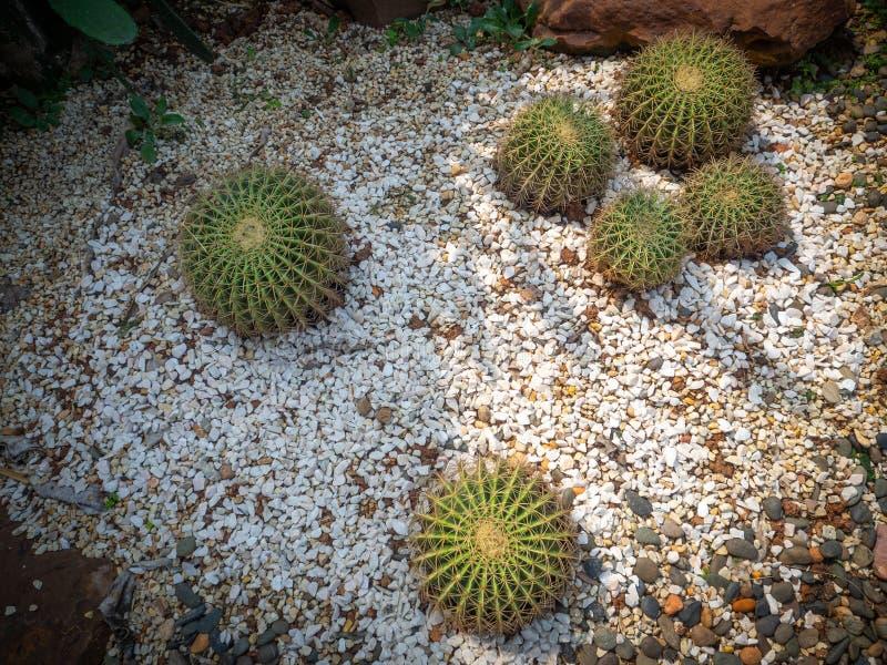 Cactus selectivo en la vista superior, cactus de barril dorado en el jardín fotografía de archivo