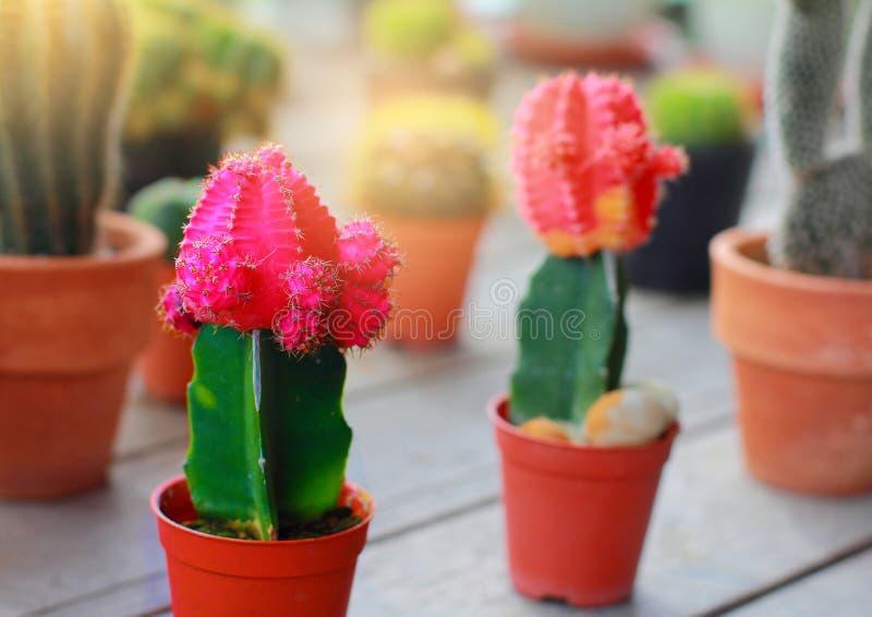 Cactus sierplanten in jardiniere royalty-vrije stock afbeeldingen