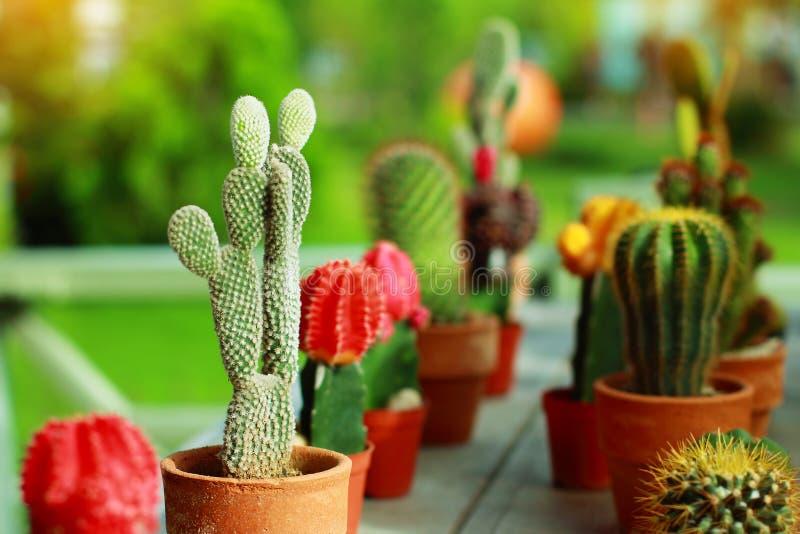 Cactus sierplanten in jardiniere met het slaan van kleur zo mooi in tuin royalty-vrije stock foto's