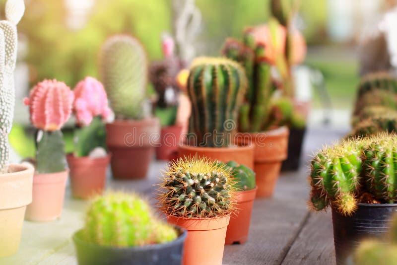 Cactus sierplanten in jardiniere met het slaan van kleur zo mooi in tuin stock foto's
