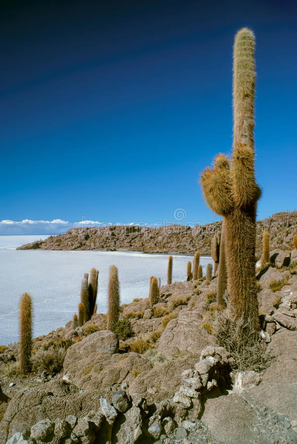 Cactus by slat planes. Huge cactuses growing near white salt planes Salar de Uyuni in Bolivia stock image