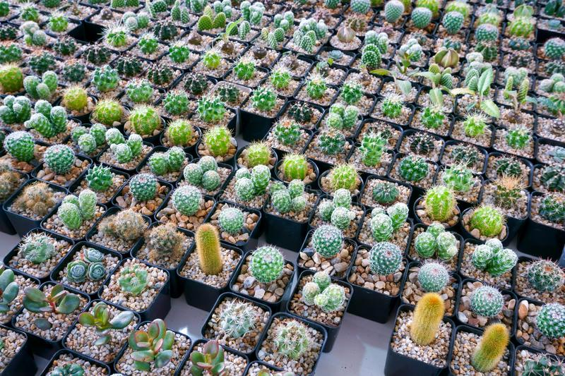 Cactus small there are many varieties in a pot royalty free stock image