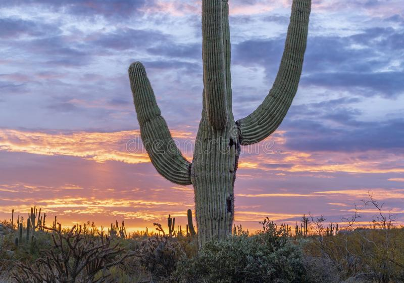 Cactus solitario en la salida del sol fotografía de archivo libre de regalías