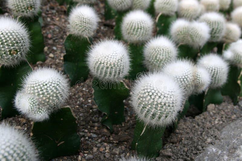 Cactus stock image