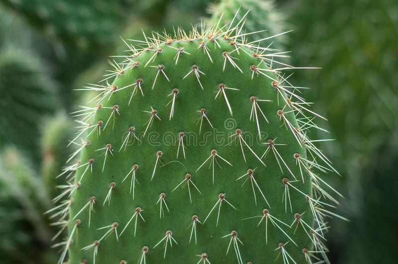 Cactus with spiky leafs. Green cactus with spiky leafs and blur bakchgorund with other cactus royalty free stock images