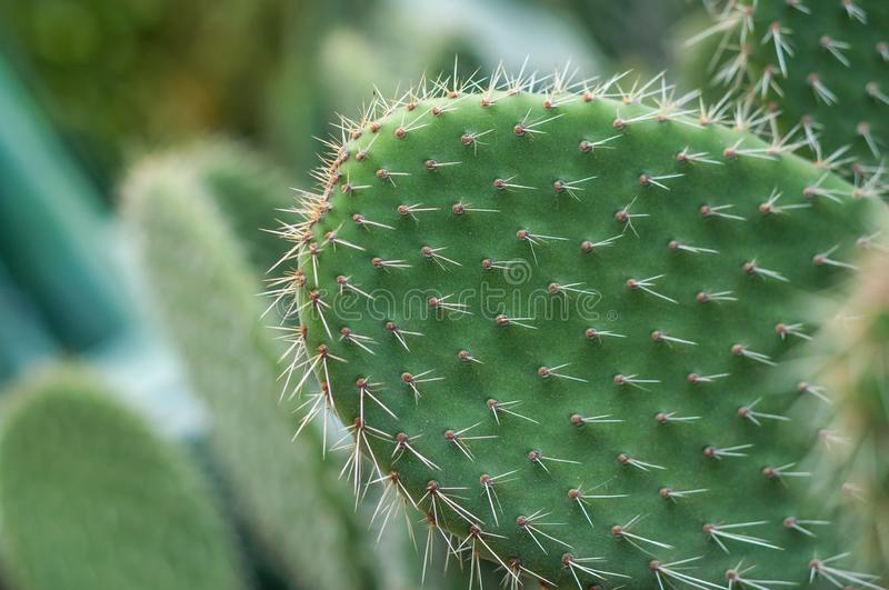 Cactus with spiky leafs. Green cactus with spiky leafs and blur bakchgorund with other cactus stock photos