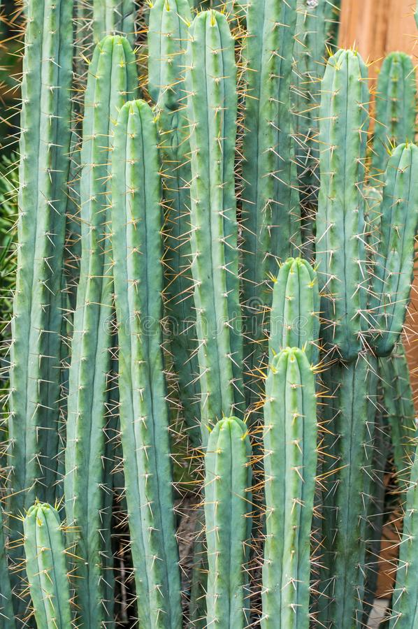 Cactus with spiky leafs. Green cactus with spiky leafs and blur bakchgorund with other cactus royalty free stock photos