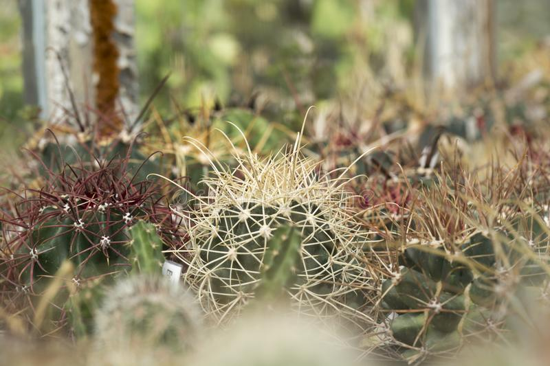 Cactus spine. Big spine of a cactus Echinocatus against blurry background stock images