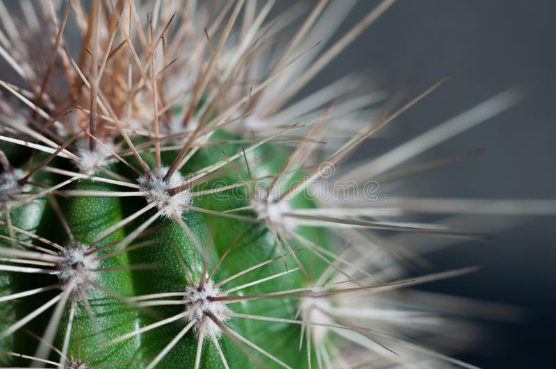 Cactus spines close-up. Young cactus spines close up royalty free stock photography