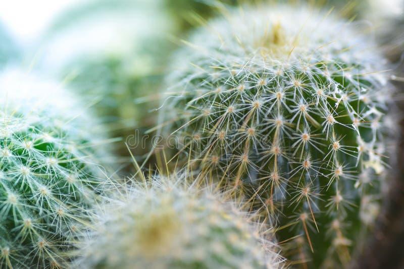 Cactus spinoso, fine sul macro colpo verde immagini stock