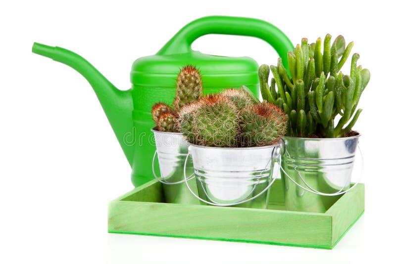 Cactus succulent photo libre de droits