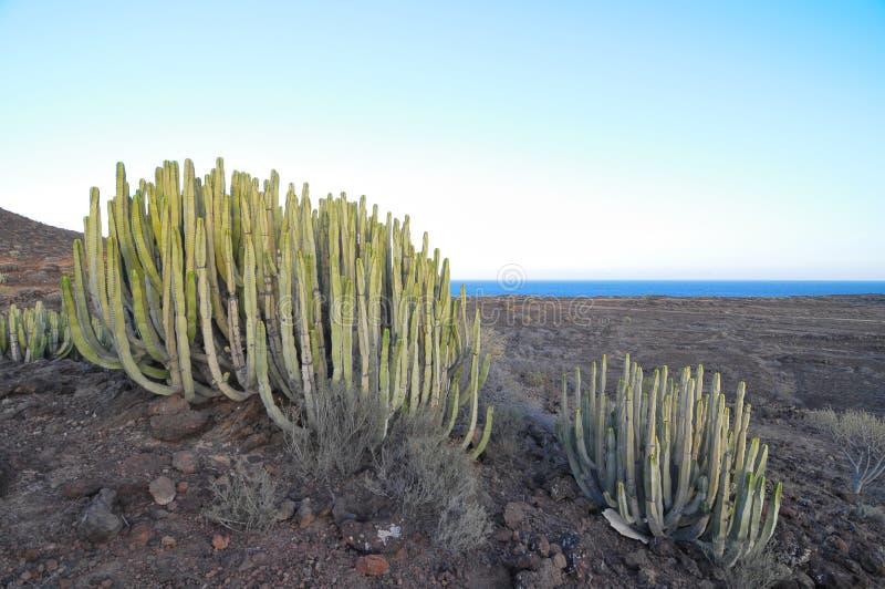 Cactus Succulent D Usine Sur Le Sec Photographie stock