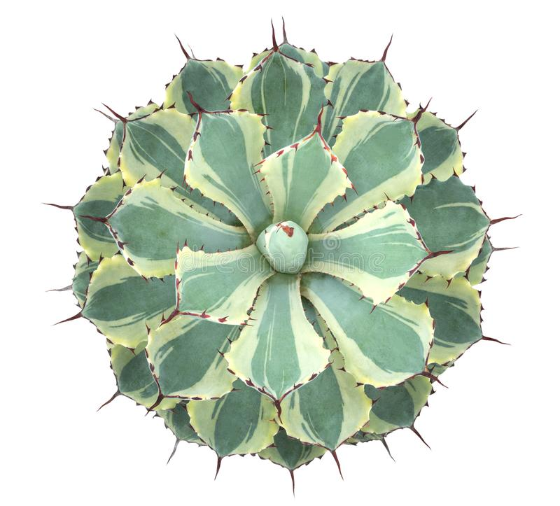 Cactus succulent plant top view isolated on white background, path stock photos