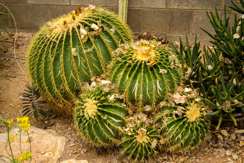 Cactus and succulents. Amazing and interesting cacti and succulents stock photos