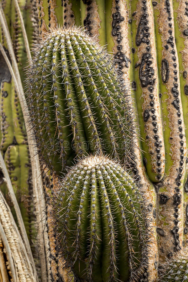 Cactus and succulents royalty free stock photography