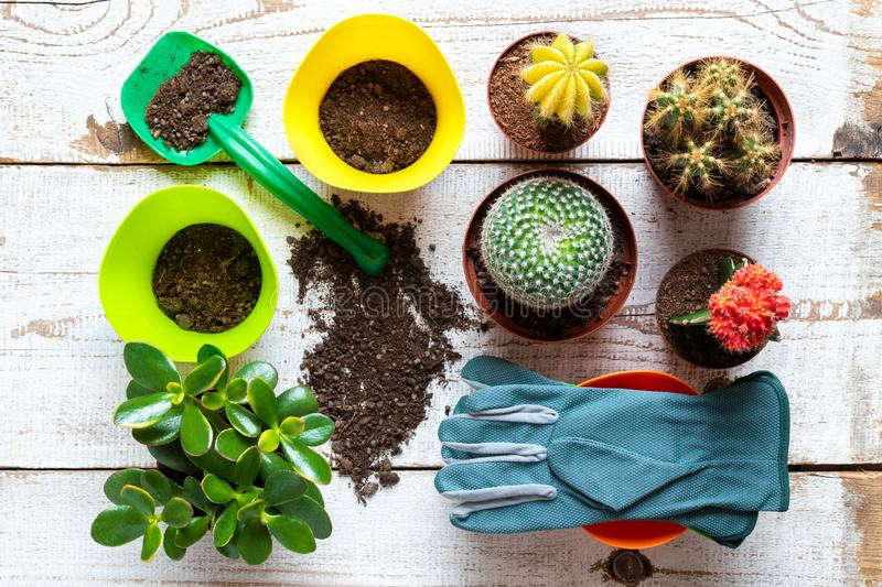 Cactus and succulents house plants background. Collection of various house plants, gardening gloves, potting soil and trowel. royalty free stock photos