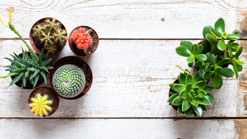 Cactus and succulents house plants background. Collection of various house plants on white wooden background. royalty free stock images