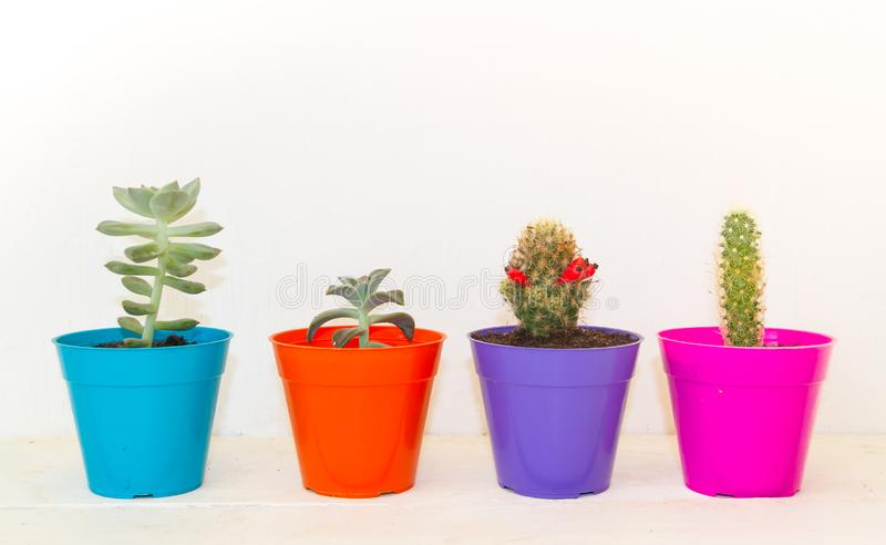Cactus and succulents in small colorful pots on white rustic background stock photo