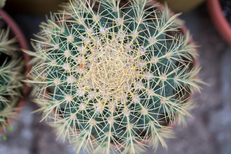 Cactus close-up Wallpaper, houseplant royalty free stock photography