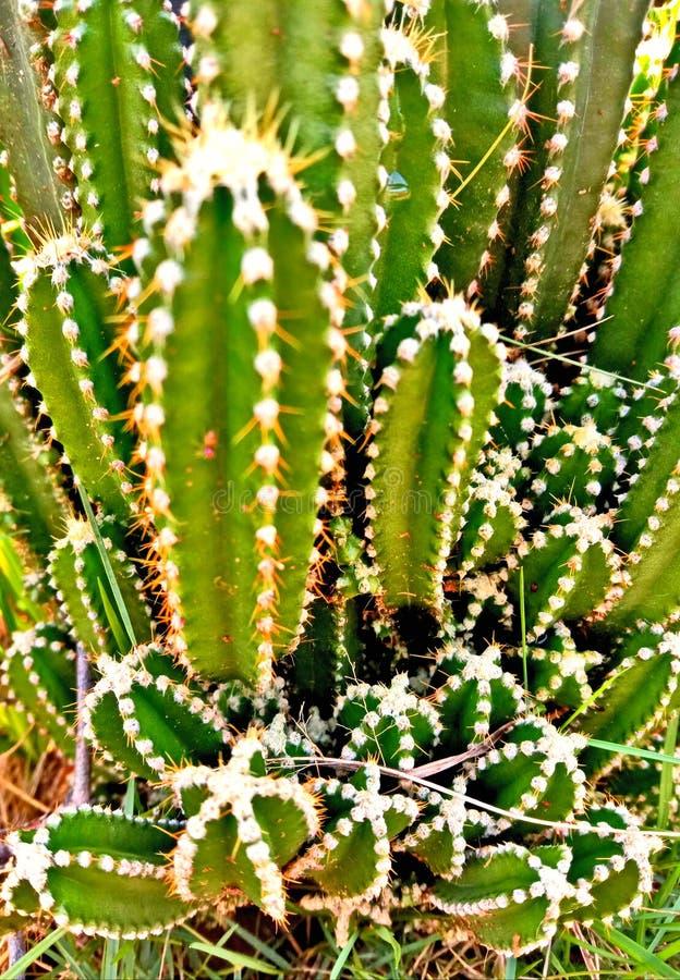 Cactus sucio con todo stunny imágenes de archivo libres de regalías