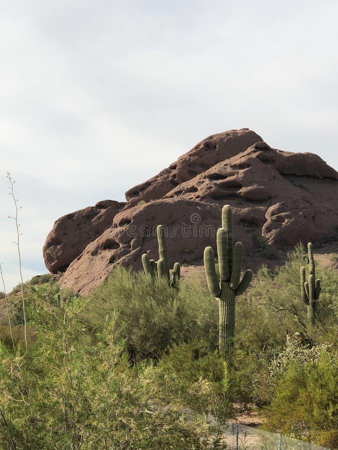 Cactus sul pendio di collina nel deserto immagine stock libera da diritti