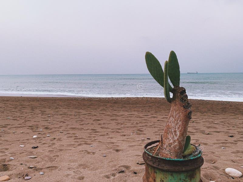Cactus sur la plage photos libres de droits