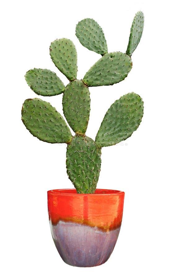 Cactus sur le fond blanc photo libre de droits