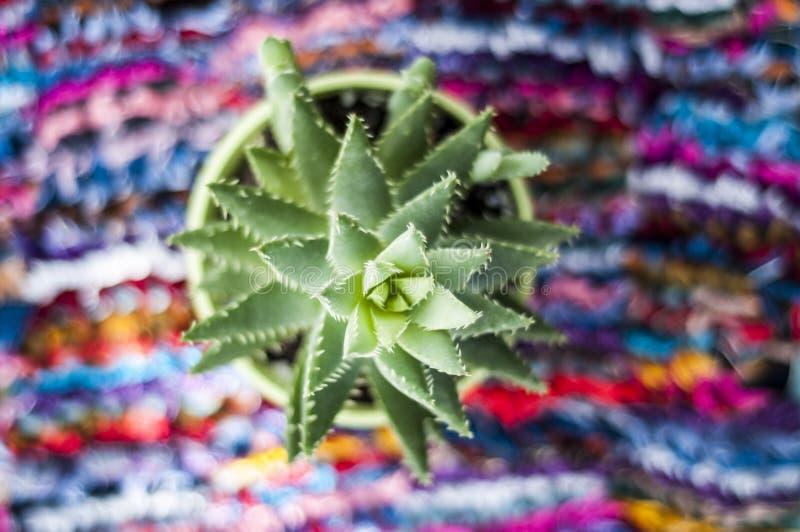 Cactus sur le fond coloré Succulent sur le fond multicolore images libres de droits