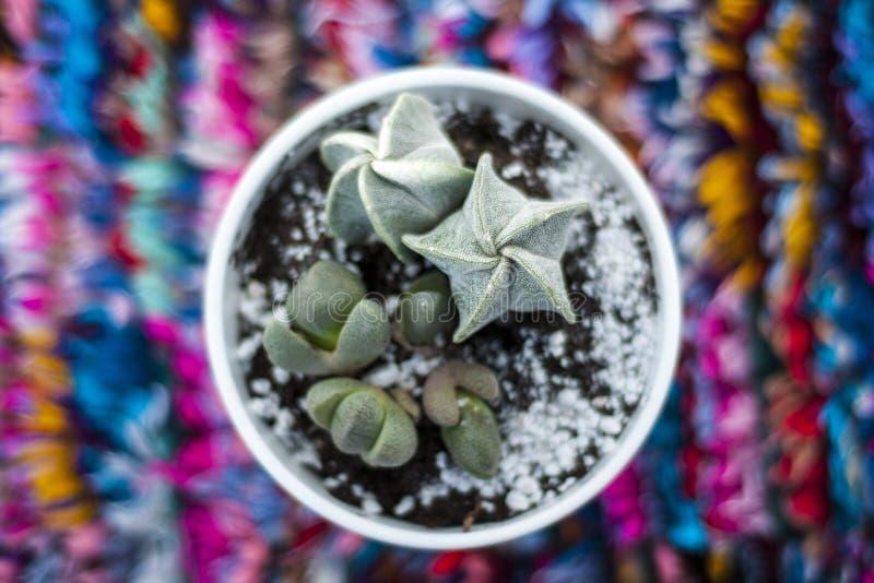 Cactus sur le fond coloré Succulent sur le fond multicolore images stock